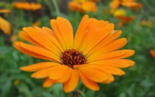 Цветы диморфотека dimorphotheca разновидности на фото и выращивание из семян