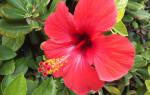 Гибискус выращивание и уход в саду