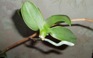 Как пересадить отросток орхиде
