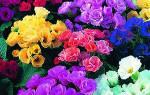Неприхотливые и долгоцветущие цветыоднолетники для сада