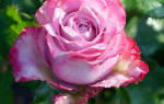 Розы в сибири посадка и уход