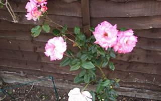 Роза хич ландер