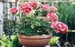 Цветы приносящие удачу в дом