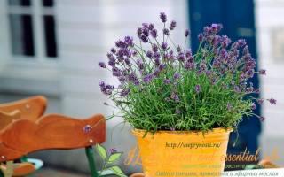 Лаванда как сажать и выращивать