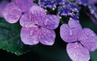 Самые распространенные фиолетовые цветы