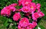 Роза морден кардинет