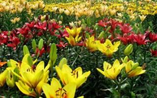 Уход в саду за лилиями