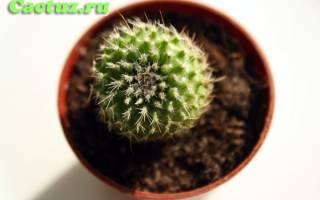 Виды кактусов рода пародия