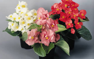 Этот чудный цветок бегония вечноцветущая
