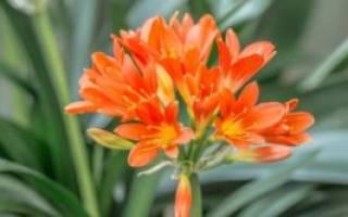 Цветы кливия выращивание в домашних условиях