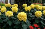 Хризантема как вырастить шикарные цветы