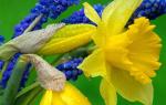 Цветы мускари небесная свежесть и средиземноморская романтика