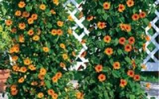 Однолетние садовые лианы