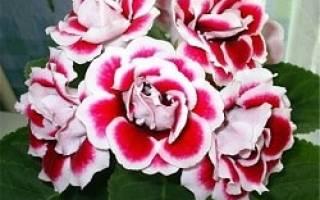 Глоксиния опустила листья и цветы почему